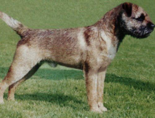AKC Breed Standard