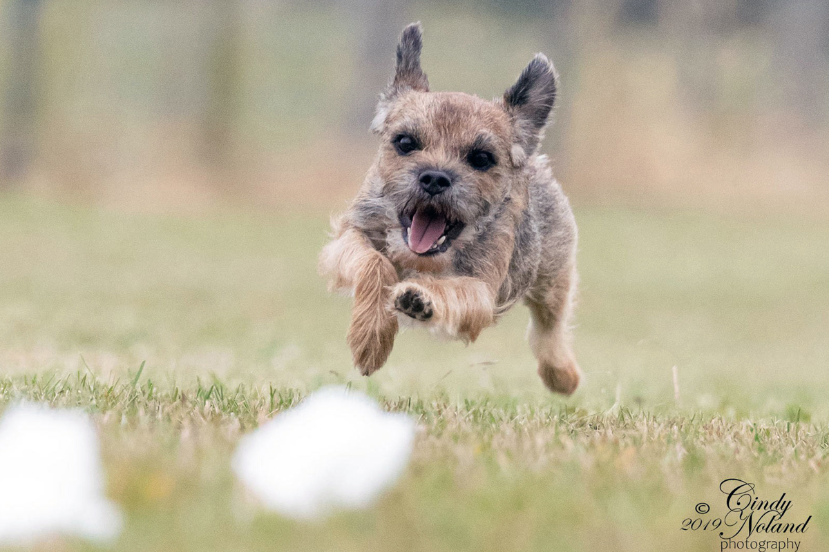 Border Terrier chasing the lure for article about lure coursing