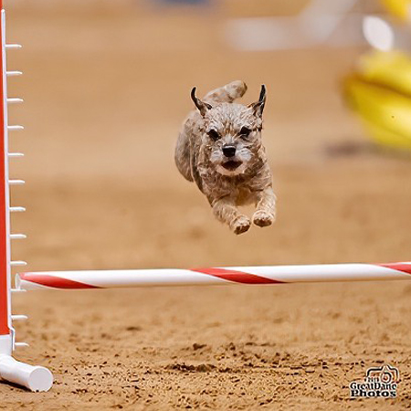 Border Terrier competing in Agility