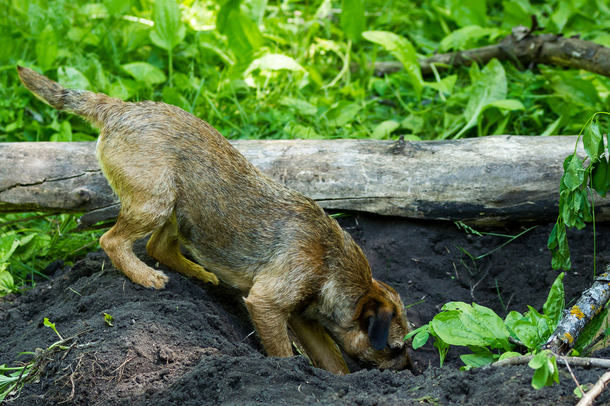 Border Terrier digging a hole for article Living with a Border Terrier