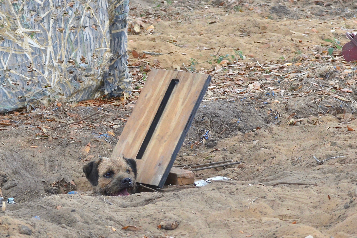 Border Terrier doing Earthdog