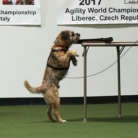 Border Terrier finding the scent by standing on his hind legs