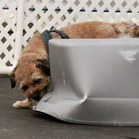 Border Terrier finding the scent in Nosework