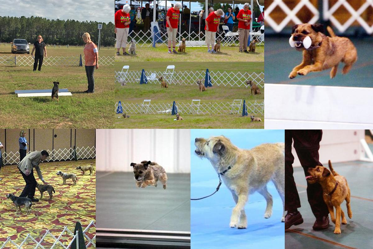 Border Terrier in obedience2
