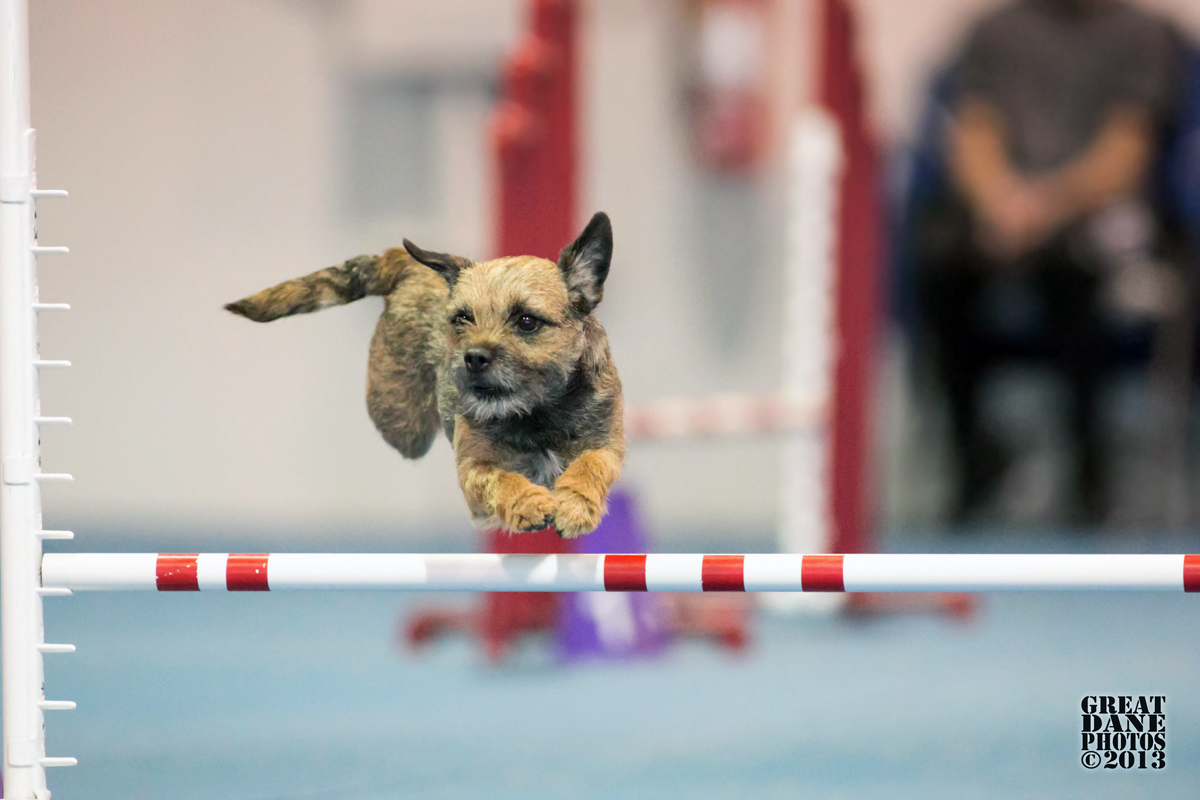 Border Terrier jumping the high jump for article about Agility