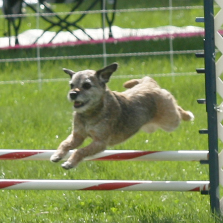 Border Terrier jumping the high jump in Agility