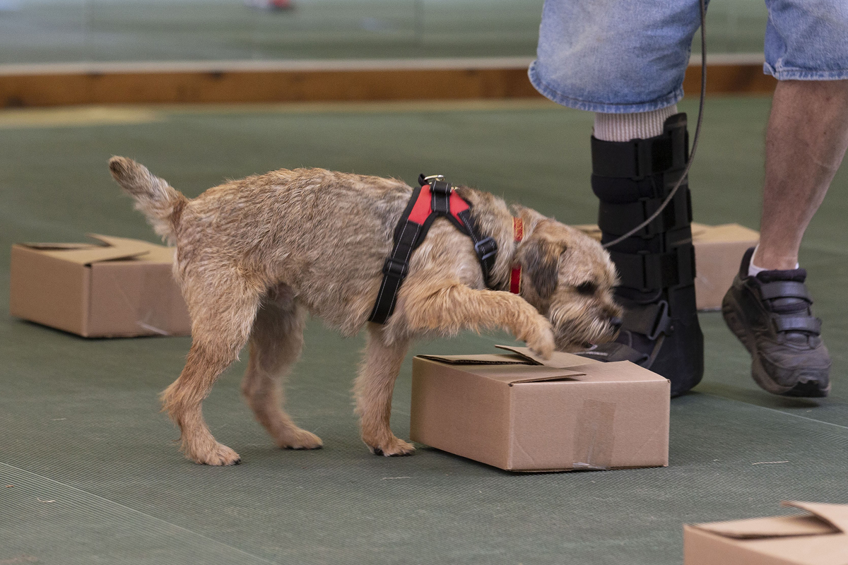 Border Terrier picking the box in Nosework