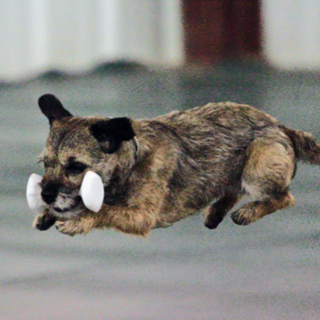 Border Terrier retrieving the dumbell in obedience
