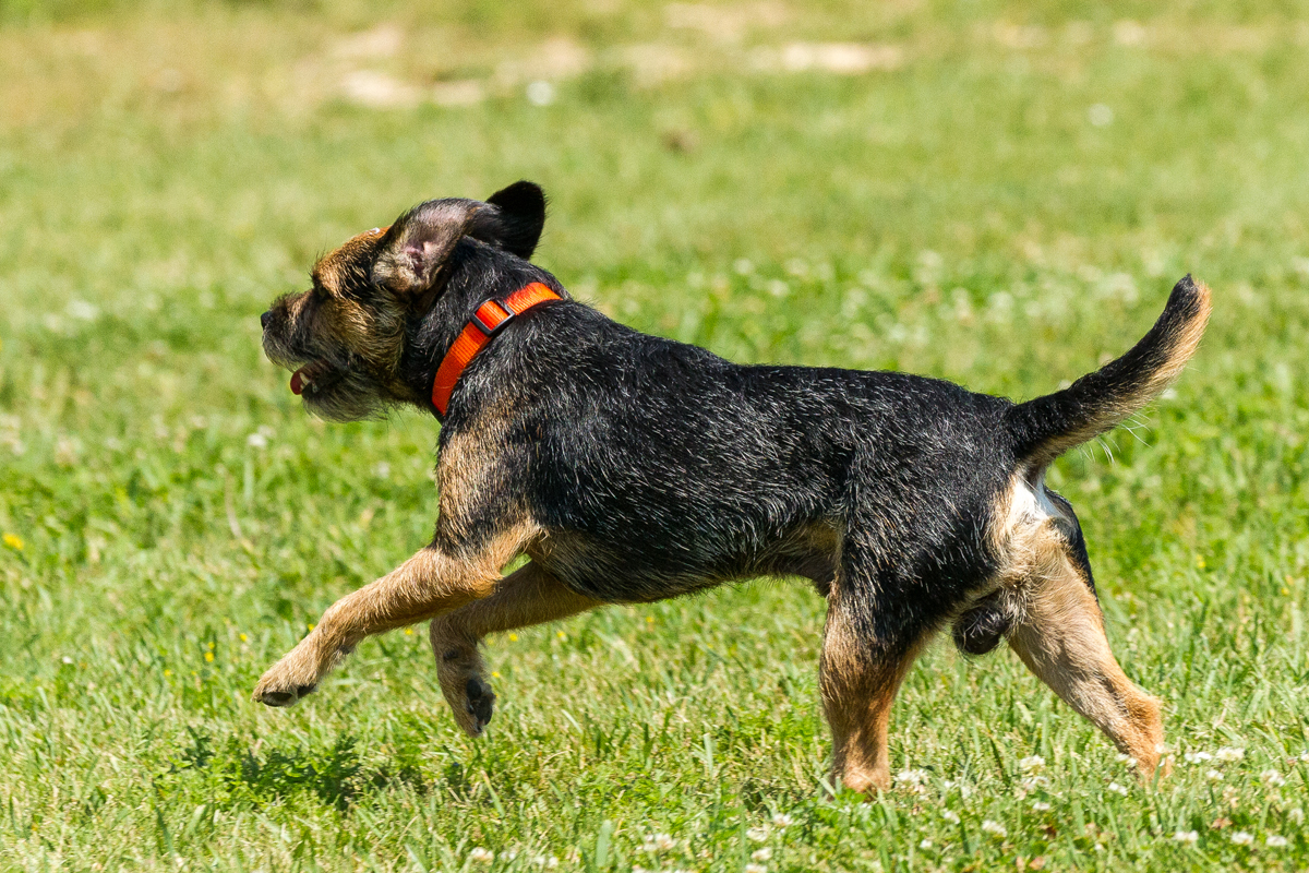 Border Terrier running away for article why the border is not for everyone