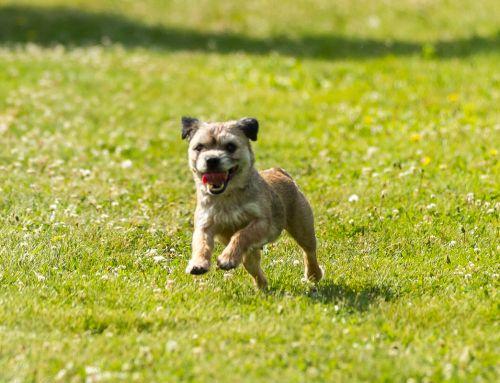 A Healthy Border Terrier