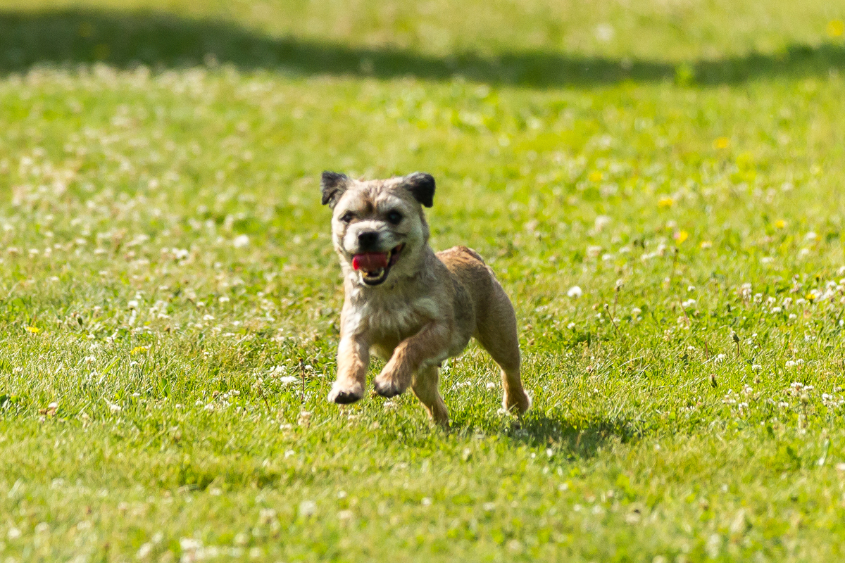Border Terrier running for article about a healthy border terrier