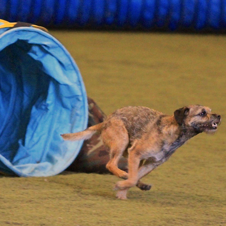 Border Terrier running out of the tube in Agility