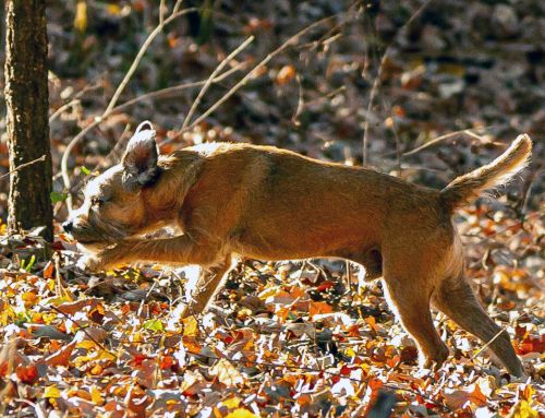Border Terriers & Tracking