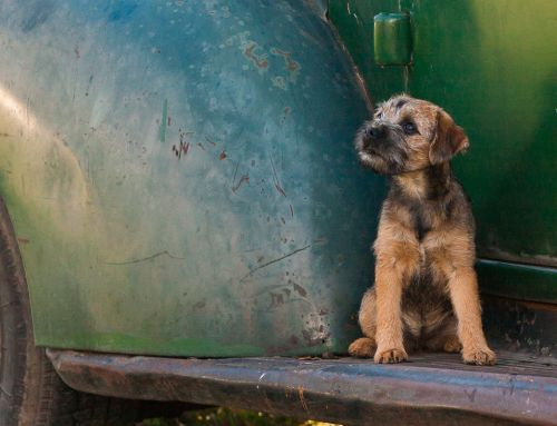 Living With A Border Terrier