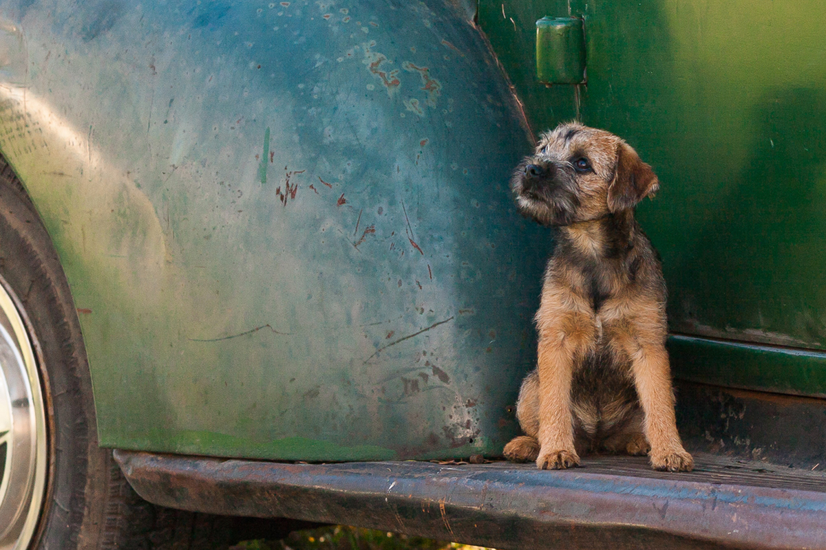 Border Terrier sitting on a truck step for article Living with a Border Terrier