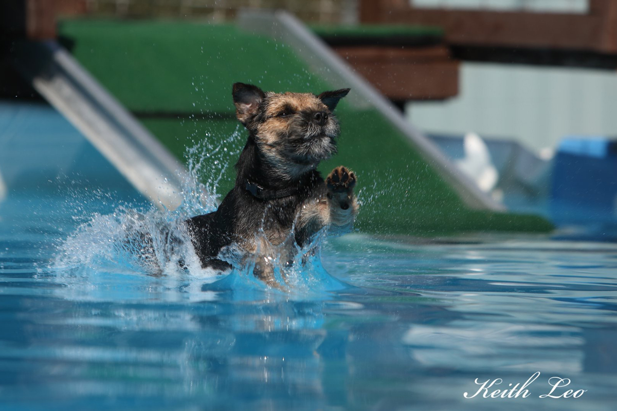 Border Terrier swimming for article about having fun with border terriers