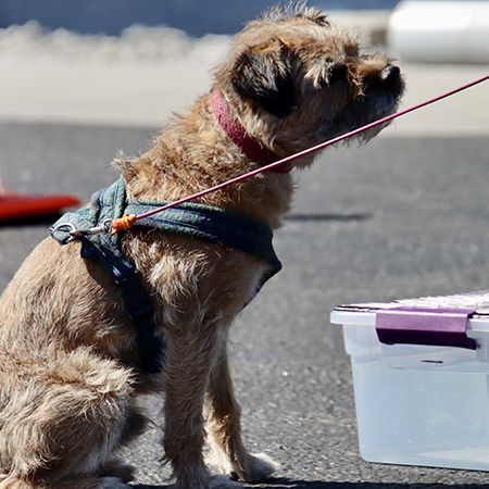 Border Terrier waiting for command in Nosework