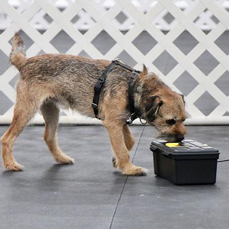 Border Terrier working in Nosework