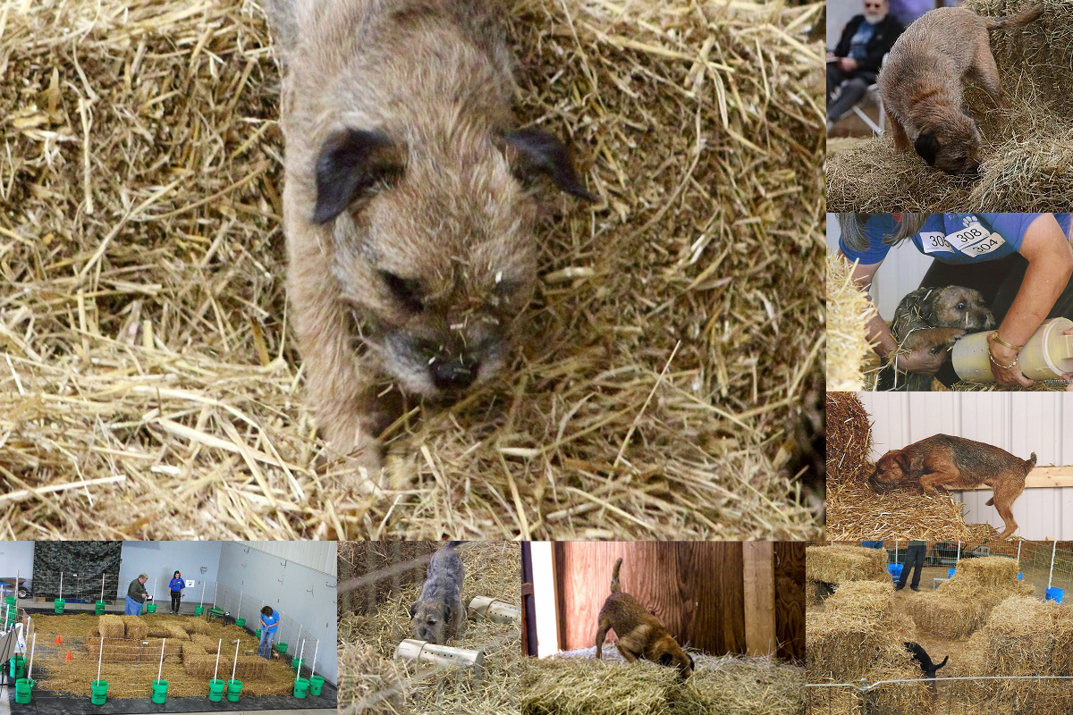 Border Terriers competing in Barn Hunt