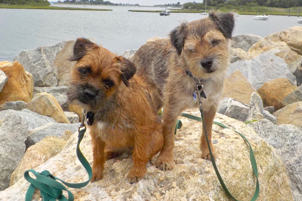 Border Terriers sitting on a rock for article what makes a border a border