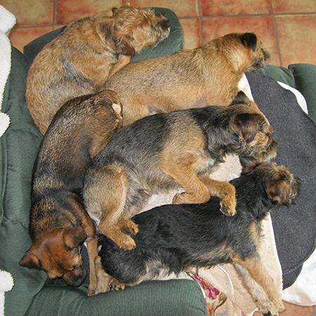 Five sleeping Border Terriers