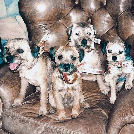Four Border Terriers sitting on a leather chair