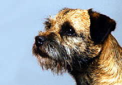 Head study of the Border Terrier