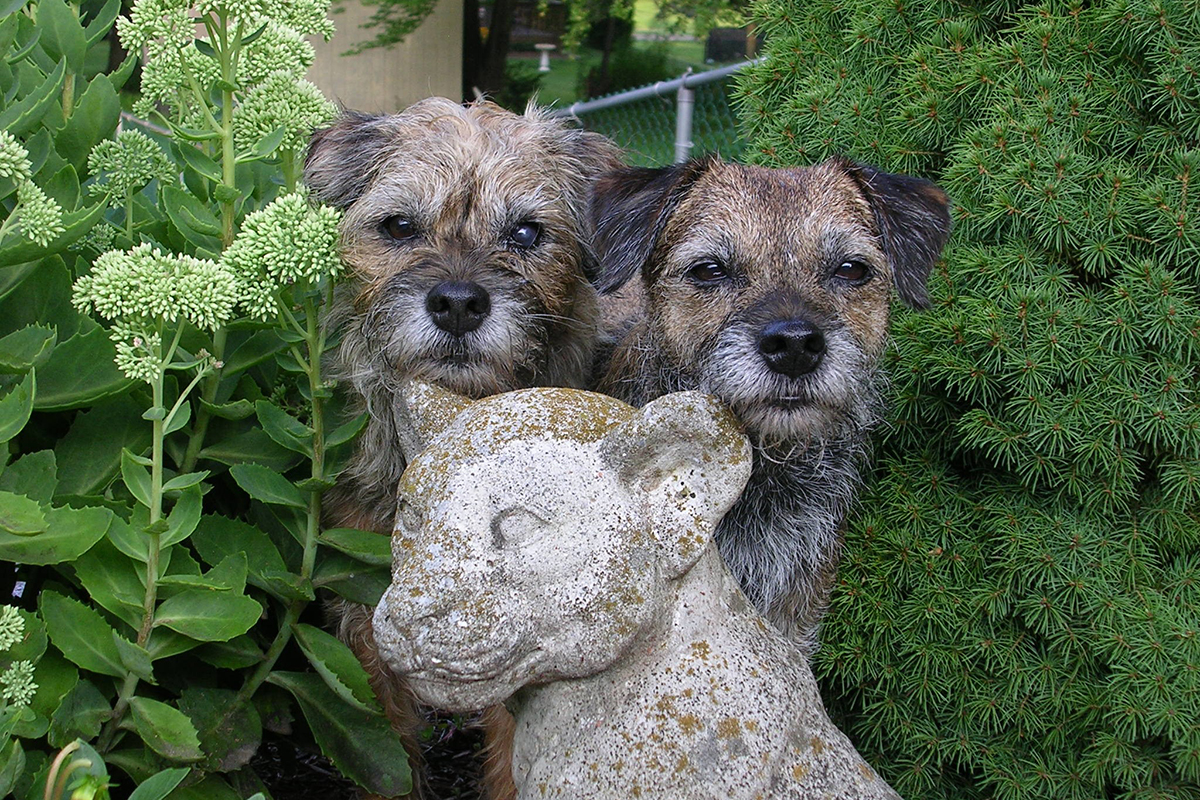 Join the Border Terrier Club of America