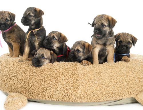 Looking for a Border Terrier?
