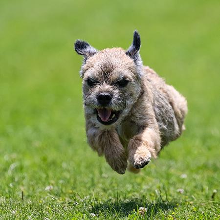 One happy border terrier Laurits Dix Dixon 1