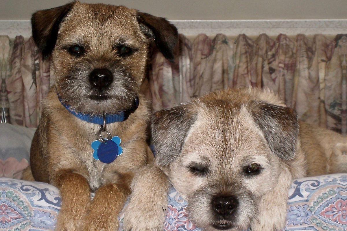 Two Border Terriers on the bed for article Living with a Border Terrier