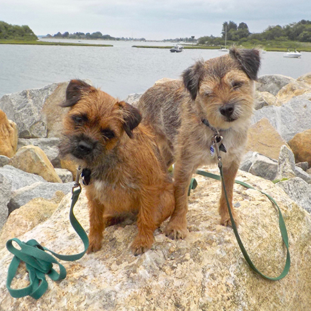 Two Border Terriers sitting on a rock