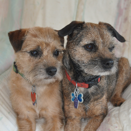Two very cute Border Terriers sitting together