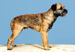 Well groomed Border Terrier