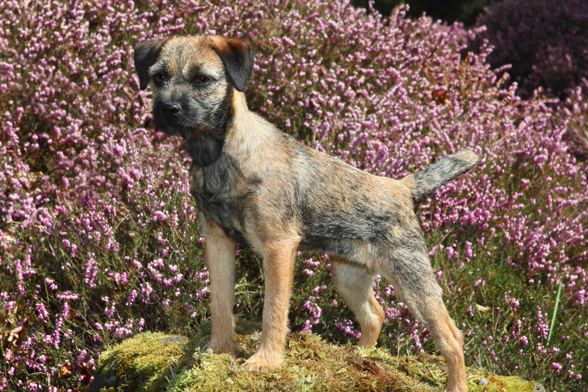 Well groomed border terrier for grooming article