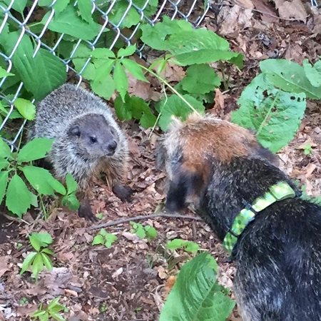 Border Terrier standing nose to nose with a groundhog